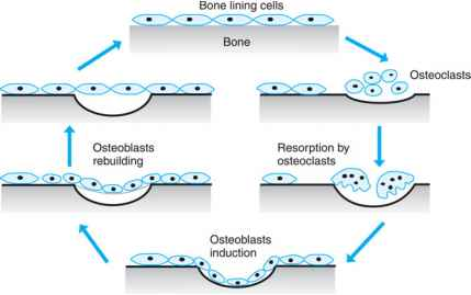 bone physiology and bone remodeling cycle