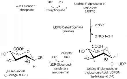Glucuronidation Udpga