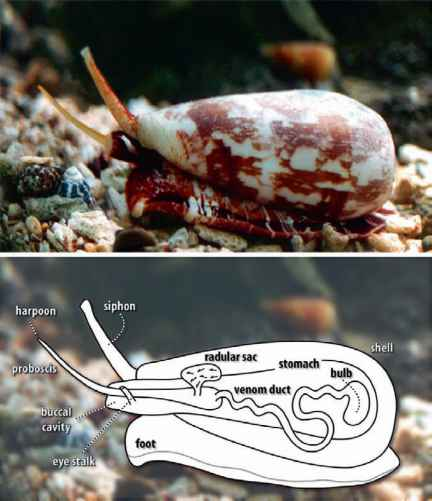 Neurotoxin From Conus Snails