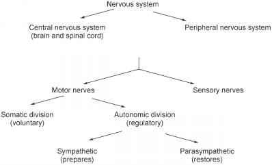 The nervous system medicinal chemistry pharmacological sciences scheme 2 divisions of the nervous system ccuart Image collections