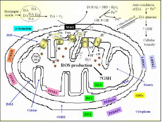 Mitochondrial electron transport chain and oxidative stress in pd schematic diagram of a mitochondrion showing the electron transport chain and location of selected proteins involved in oxidative stress ccuart Image collections